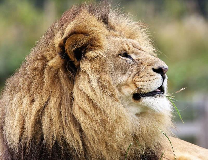 il re leone - interno